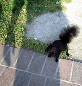 black-squirrel.jpg