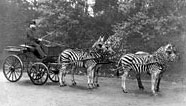 zebra-carriage.jpg
